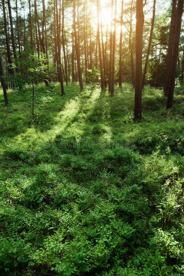Sosnowy las przy wschód słońca Scots lub Szkockiej sosny Pinus sylvestris drzewa backlit słońcem obraz stock