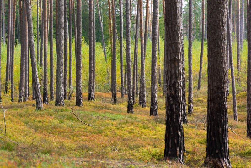 Sosnowy las w Jurmala zdjęcia royalty free
