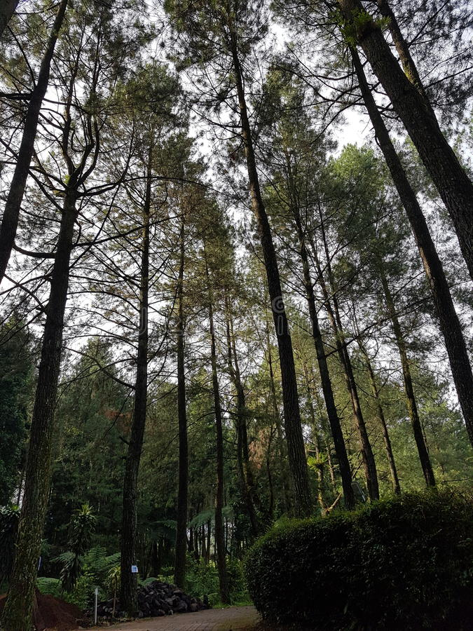 Sosnowy las w Puncak, Bogor zdjęcie stock