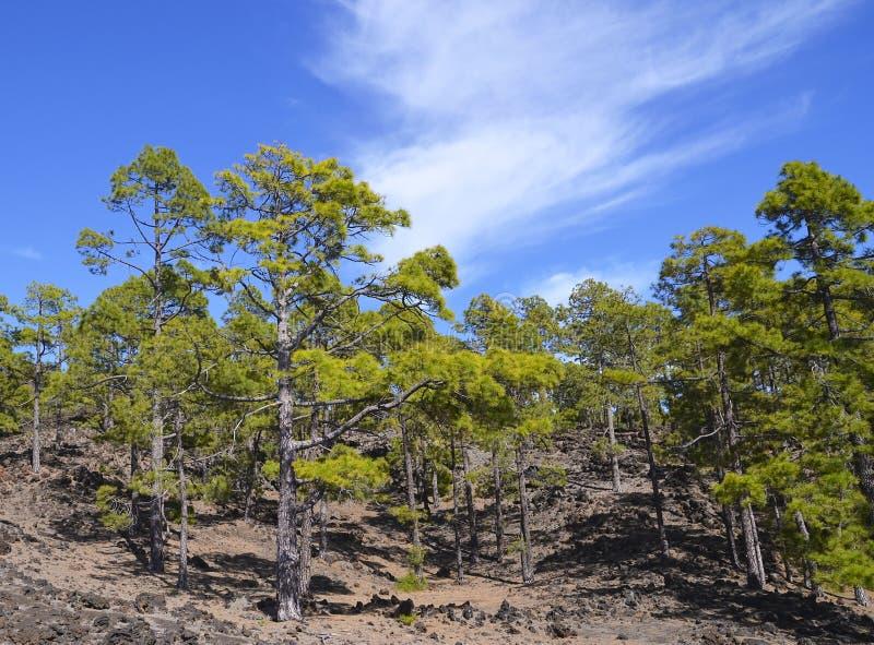 Sosnowy las w Teide parku narodowym, Tenerife, wyspy kanaryjska, Hiszpania Korona słoneczna Forestal blisko Teide wulkanu zdjęcie stock