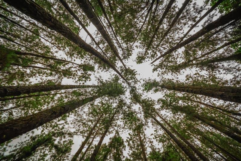 Sosnowy las w Vagamon wzgórzach zdjęcie royalty free