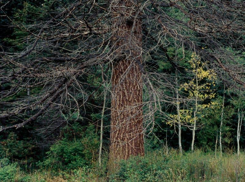 Sosnowy las wzdłuż Purgatory mieszkań Wlec, Weminuche pustkowie, Kolorado zdjęcie stock