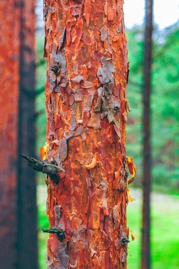 Sosnowy lasowej zieleni krajobraz zdjęcie stock