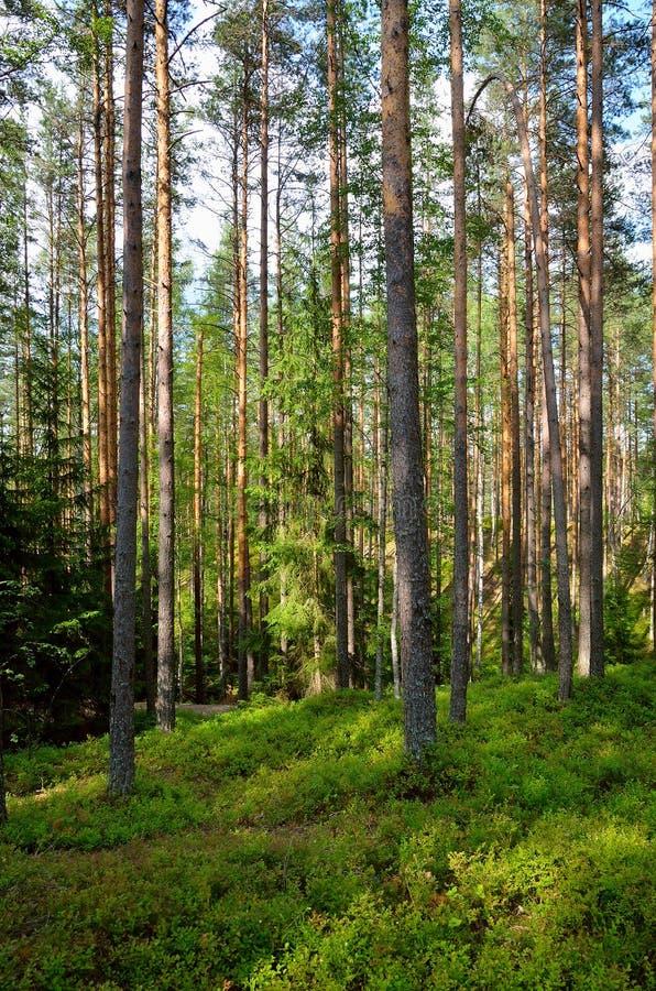 Sosnowy lasowy lato krajobraz zdjęcia stock