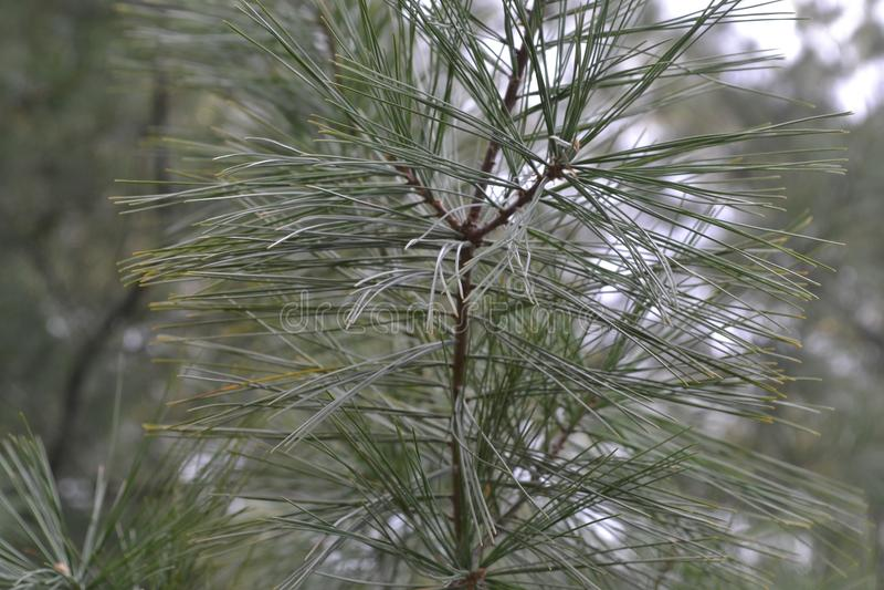 Sosnowy liść w parku obraz royalty free