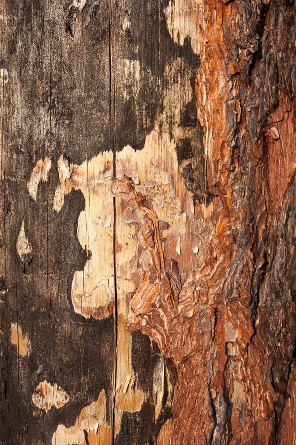 Sosny barkentyna zdjęcia stock