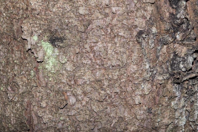Sosny barkentyna, tekstura obraz royalty free