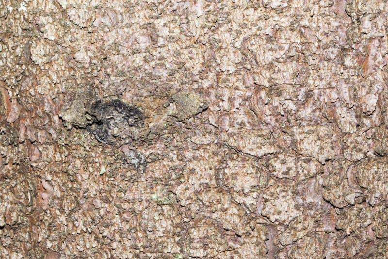 Sosny barkentyna, tekstura zdjęcie stock