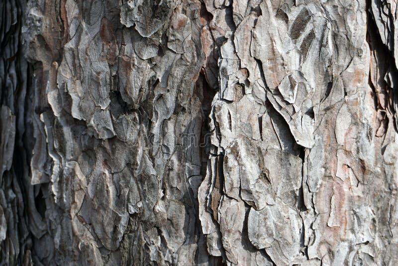 Sosny barkentyny szczegóły zamknięci w górę zdjęcie royalty free