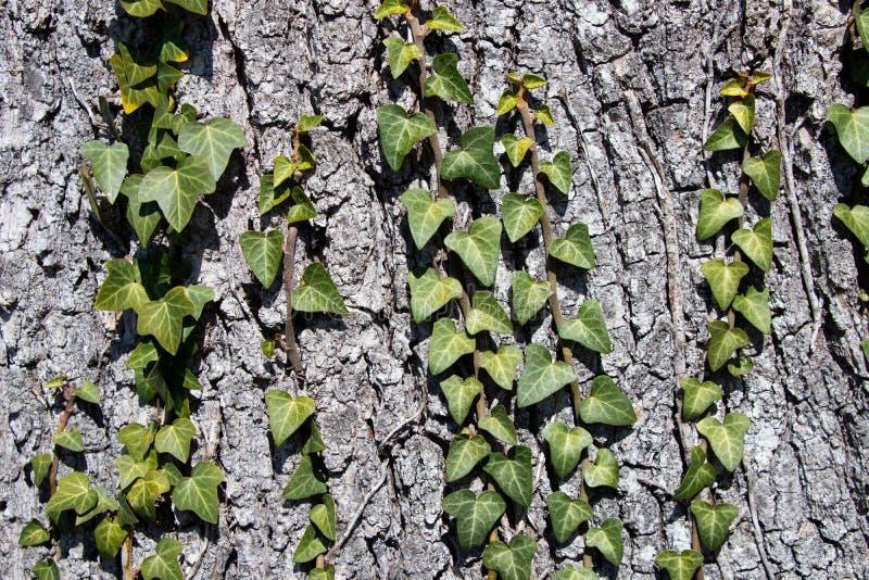 Sosny barkentyny tekstura z pięknym wzorem z bluszczem fotografia stock