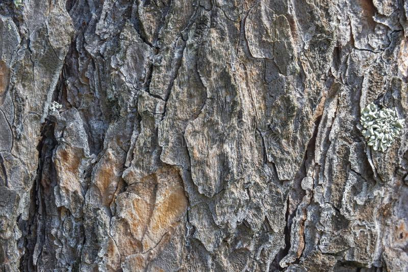 Sosny barkentyny tekstury Drewniany tło obraz stock