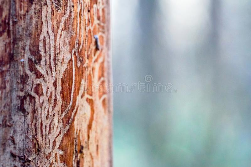 Sosny drewno żlobiący w wormholes cierpi od korowatej ścigi infekcji obraz royalty free