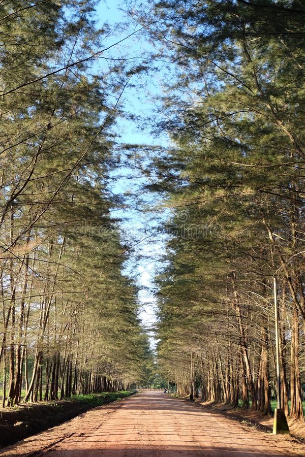 Sosny drzewo przy Bangka ogródem botanicznym obrazy stock