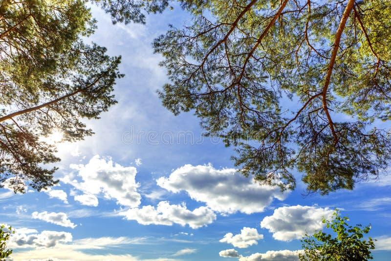 Sosny gałąź na tle niebo i chmury obraz stock