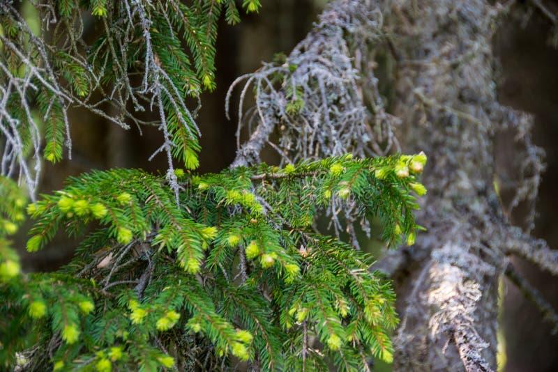 Sosny gałąź z potomstwo zielonymi igłami zdjęcia stock