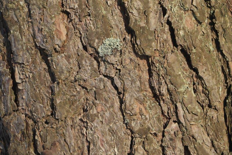 Sosny makro korowata naturalna tekstura fotografia stock