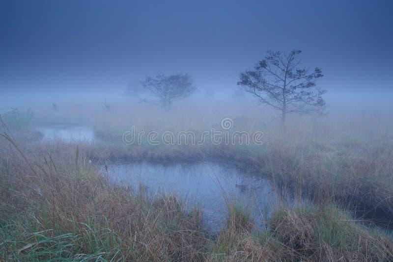 Sosny na bagnie w półmrok mgle obraz stock