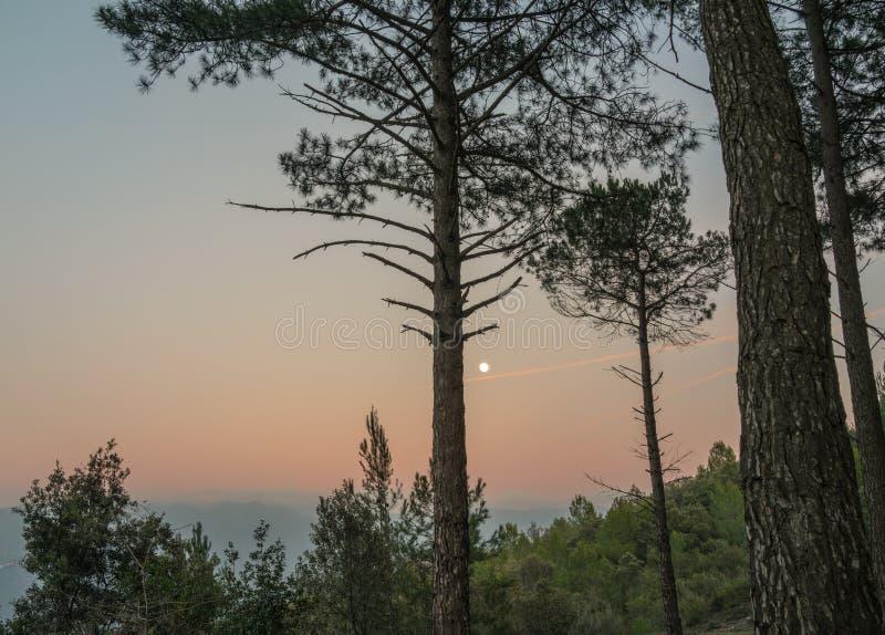 Sosny na wschód księżyca zdjęcia stock
