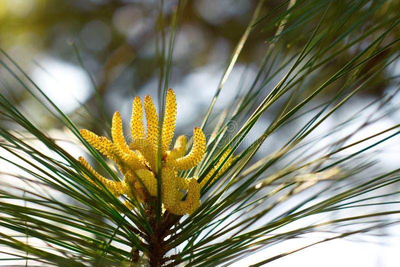 Sosny Pollen rożek zdjęcia stock
