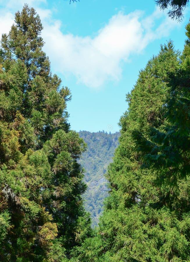 Sosny przy starym lasem w Alishan, Tajwan zdjęcie royalty free