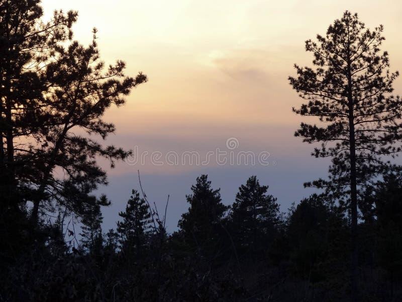 Sosny Sylwetkowe Przeciw Pastelowemu niebu obrazy royalty free