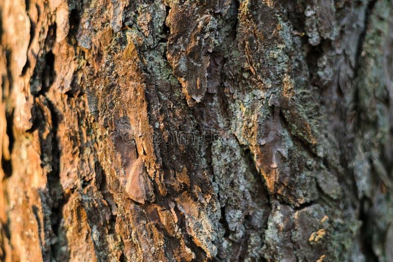 Sosny tekstury strona zaświecał słońcem w lasowej Drzewnej barkentynie w drewnach obrazy stock