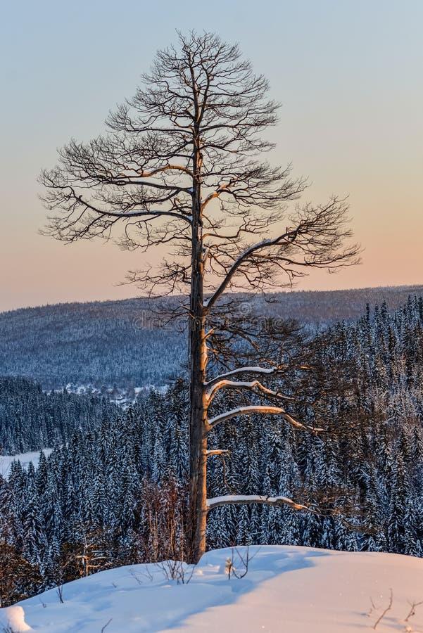 Sosny w śniegu przy zmierzchem w górach obrazy royalty free