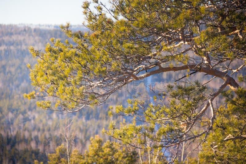 Sosny w świetle słonecznym i lesie Halni drzewa wzgórze obraz stock