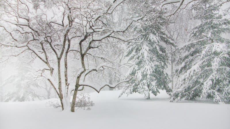 Sosny w central park Nowy Jork zdjęcie royalty free