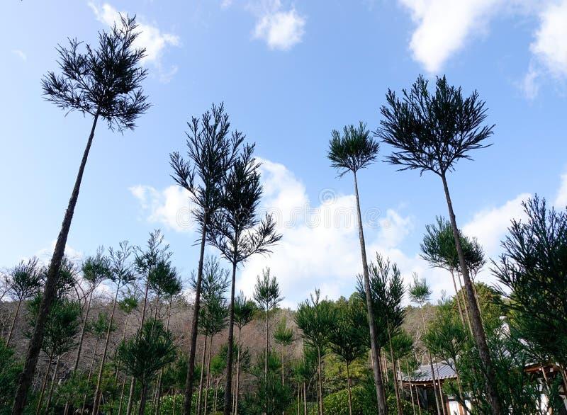 Sosny zasadzać przy lasem w Kyoto, Japonia zdjęcia royalty free