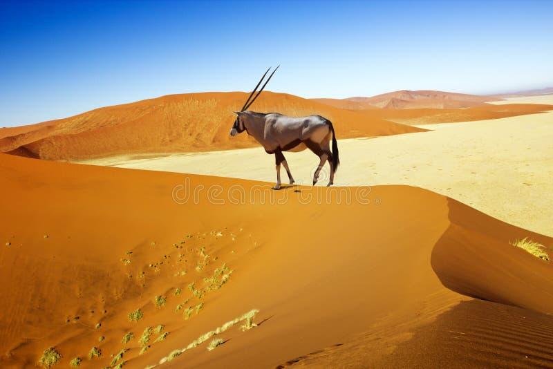 Sossusvlei沙丘羚羊属 免版税库存照片