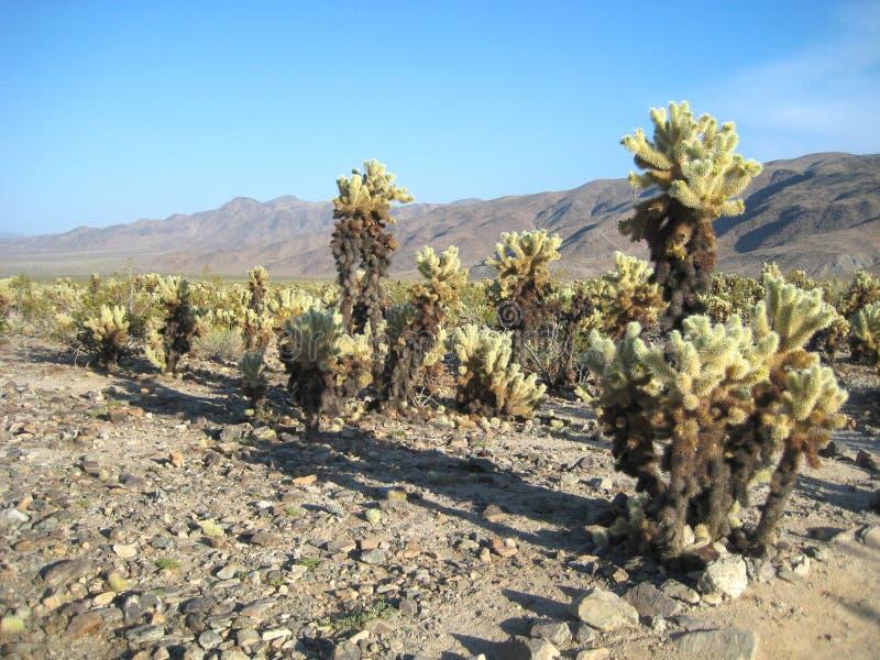 Sosta nazionale dell'albero di Joshua (giardino del cactus di Cholla) immagini stock