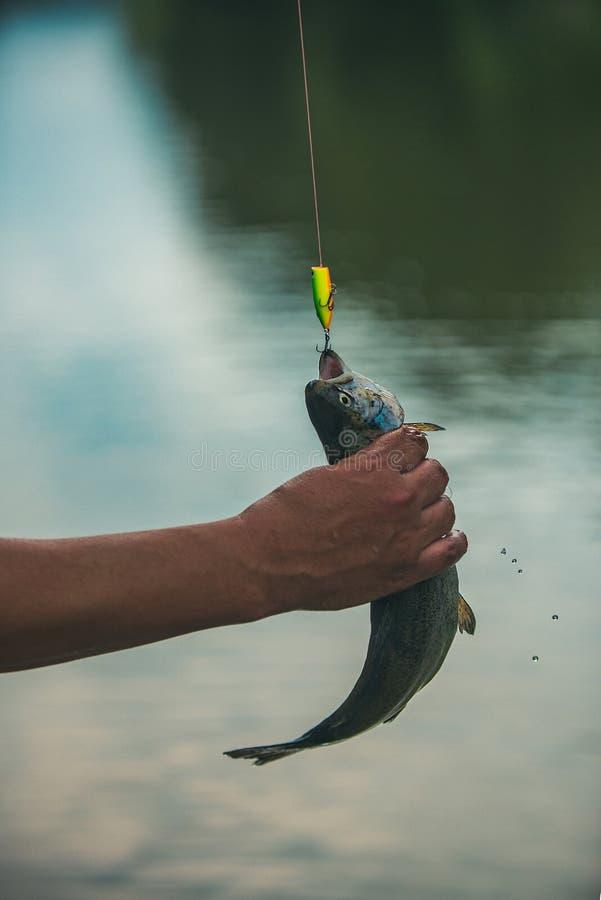 Sostener la trucha marrón Trucha del pescador y del trofeo Conceptos de pesca acertada Pesca fotos de archivo libres de regalías