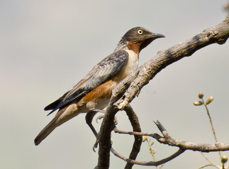 The spot-winged starling (Saroglossa spilopterus). Perching on a fruiting tree stock images
