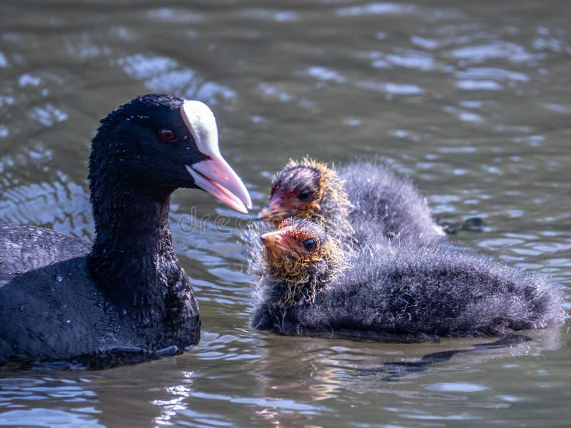 Sothöna och två fågelungar på en sjö royaltyfria foton