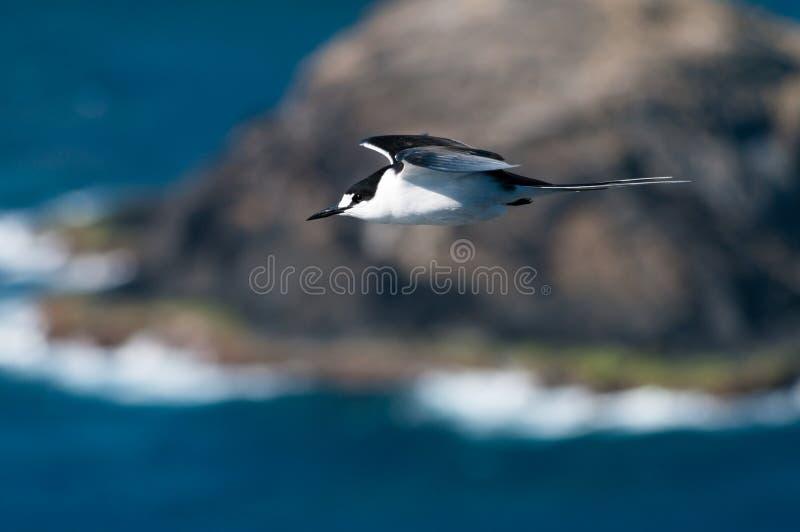 Sotig tärna & x28; Bröstbenfuscata& x29; på Lord Howe Island royaltyfria foton
