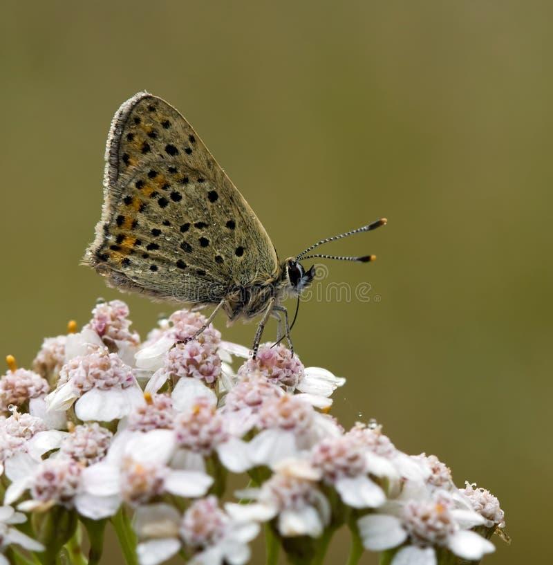 sotig tityrus för blå fjärilskopparlycaena fotografering för bildbyråer