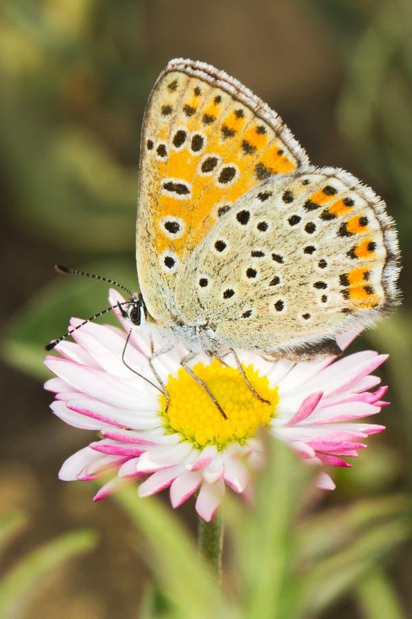 sotig tityrus för blå fjärilskopparlycaena royaltyfri foto