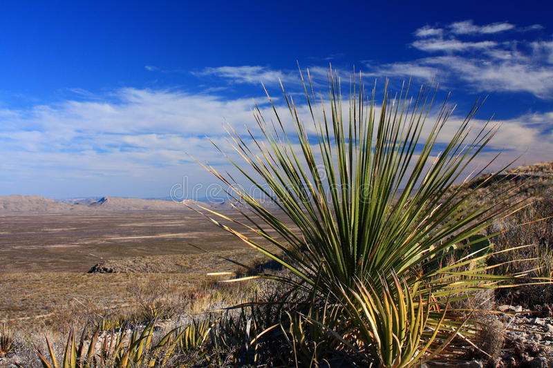 Sotol cactus in texas desert royalty free stock photo