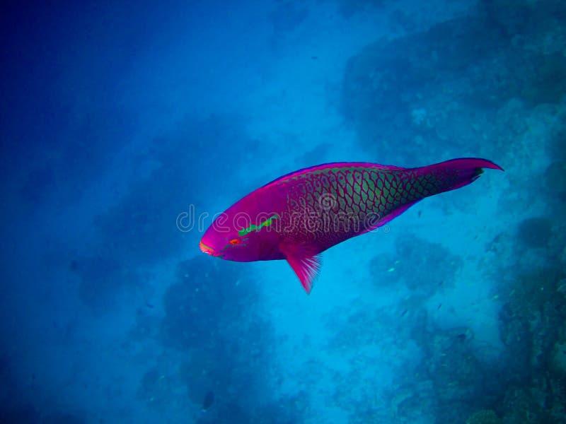 Sotto il mondo dell'acqua ai Maldives fotografie stock