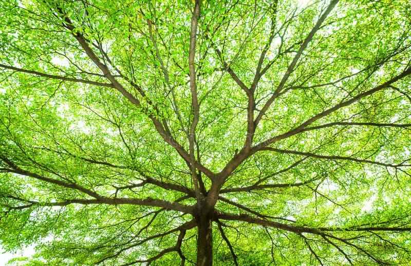 Sotto l'albero con i fogli spanti di verde e della filiale immagini stock