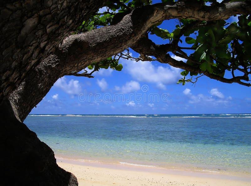 Sotto l'albero di noce del mackintosh di Ol immagini stock