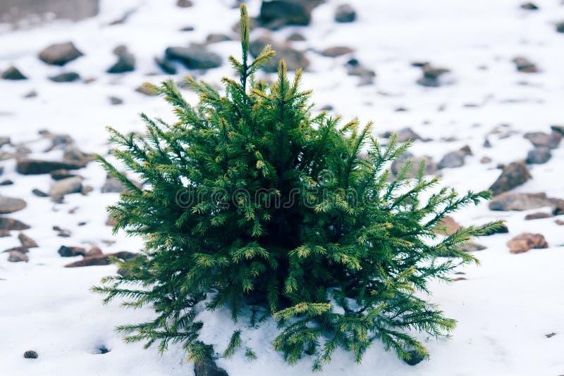 Sottobosco delle conifere nell'inverno fotografie stock