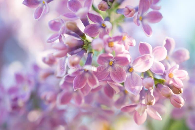 sottragga la priorità bassa Macro foto Fiori lilla di fioritura Sfondo naturale floreale immagini stock libere da diritti