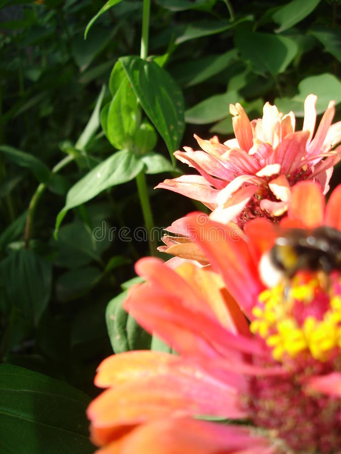 sottragga la priorità bassa Zinnias, ape e pianta immagine stock libera da diritti