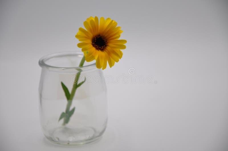 Souci jaune dans un verre Fleur avec le fond blanc photographie stock
