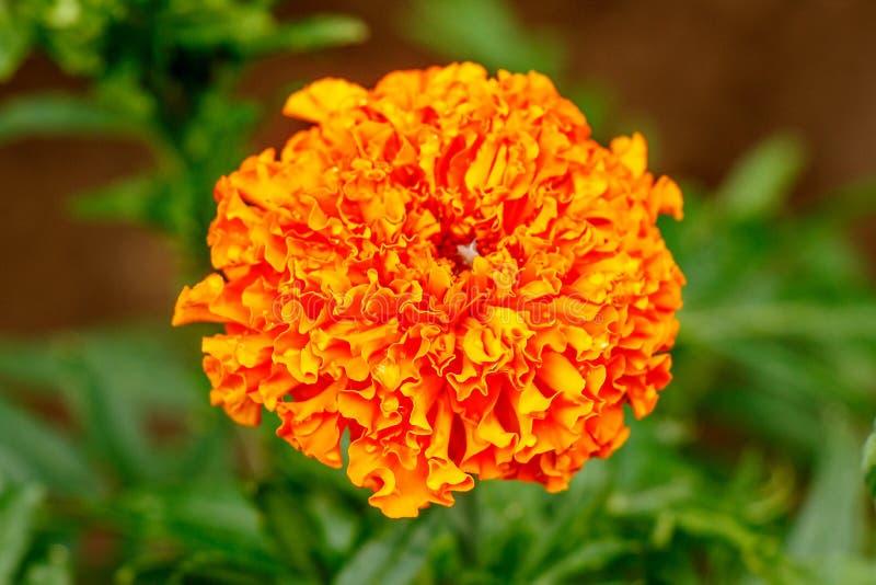 Souci orange de fleur sur un plan rapproché vert de fond photos stock