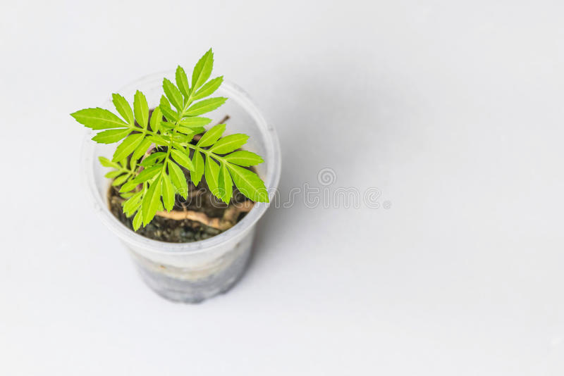 Soucis brouillés et mous de doux abstrait de foyer, Tagetes, erecta de Tagetes, Asteraceae, jeunes plantes d'usine sur le verre e photo libre de droits