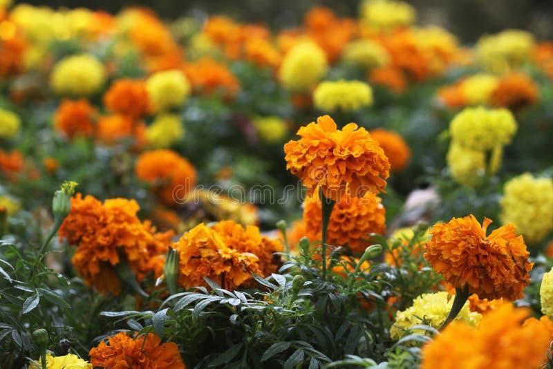 Soucis jaunes et oranges image stock