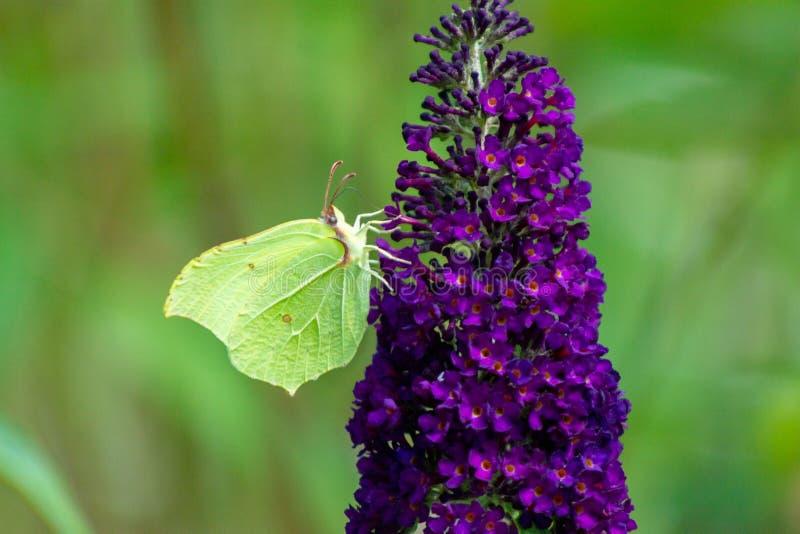 Soufre commun sur un lilas d'été, papillon-Bush image stock